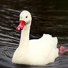 Coscoroba Swan by Stan Owen