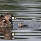 Then There Were Three / Pied-billed Grebes by Gary Fairhead