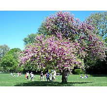 Magnificent Judas tree in the Borely Park Photographic Print
