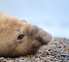 Elephant Seal. by Pablo Caridad