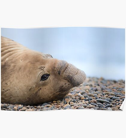 Elephant Seal. Poster