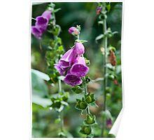 Foxglove Flower, Aga Fenn, Suffolk. UK Poster