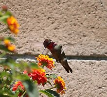 The male Anna hummingbird happy that the Lantana bush is in bloom.... by DonnaMoore