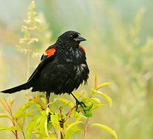 Redwing Blackbird by DianaKehoe