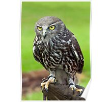 Green Eyes - barking owl Poster