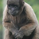 Woolly Monkey by Paul Morley