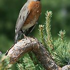Female American Robin in Green Bay, WI by eaglewatcher4
