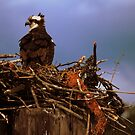 Mother Osprey by madman4