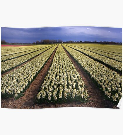 White Hyacinth Field Poster