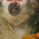 Common Squirrel Monkey behind glass by Gabor Pozsgai
