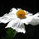 Matilijah Poppy by jsmusic
