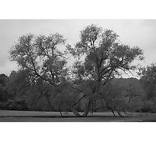 Marriage Tree Photographic Print