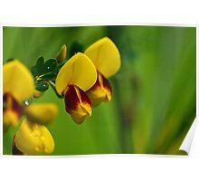 Scotch Broom Flowers Poster