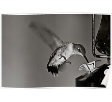 Hummingbird in Black and White Poster