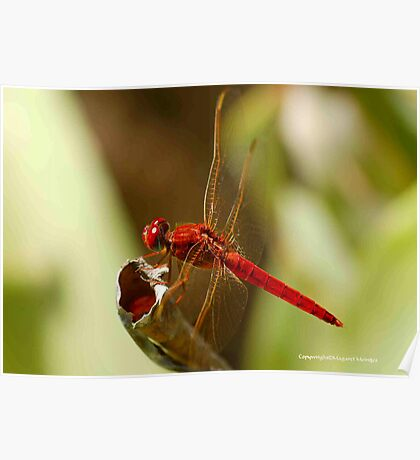 DRAGONFLY SERIES - Red-veined Dropwing – TRITHEMISM ARTERIOSA Poster