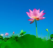 Yoga meditation lotus flower by tanabe