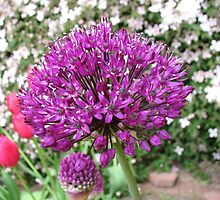 Pretty in Pink and Purple - Ornamental Onion by BlueMoonRose