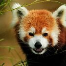 Red Panda by Lisa G. Putman