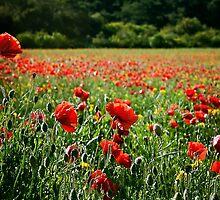 Poppy Flower Field by Vicki Field