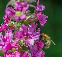 Bumble Bee on Purple Flower by Nick Jenkins