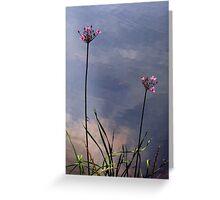 Flowering Rush Greeting Card