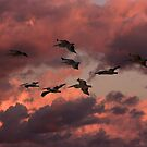 Pelican Sunset Flight by byronbackyard