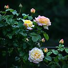"""Late Evening Country Rose"" by Melinda Stewart Page"