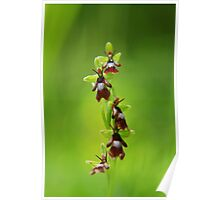 Fly orchid mimicry  Poster
