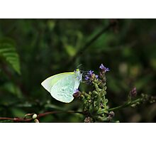 Cabbage Butterfly on a Wildflower Photographic Print