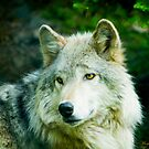 Grey Wolf - Forest of Wolves Series © by Mary Campbell