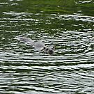 Dog otter having a swim by Russell Couch