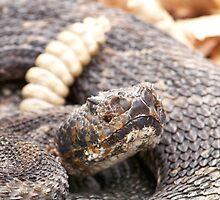 Timber Rattlesnake by Dandelion Dilluvio