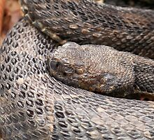Timber Rattlesnake by Dandelion Dilluvio