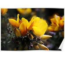 """Yellow"" Gorse Poster"