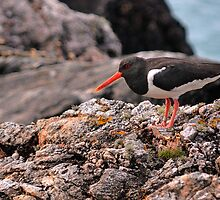 Oystercatcher by Richard Ion