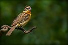 FEMALE BLACK-HEADED GROSBEAK by Sandy Stewart