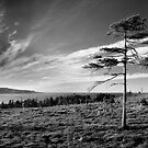 Pinus Davidus Blackus Whiteus by OldBirch