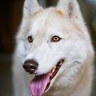 husky by Dan Shalloe