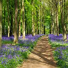 Bluebell woods by Mark Thompson