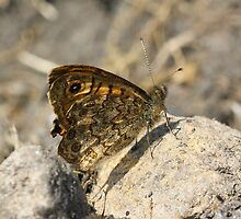 Wall Butterfly Lasiommata megera Male by Moonlake