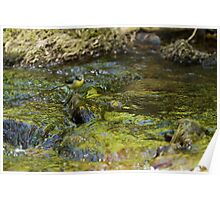 Grey Wagtail with Flowing Water Poster