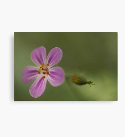 Herb Robert, Wild Flower Canvas Print