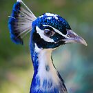 Peacock by Paul Morley