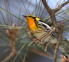 Flaming Orange/Blackburnian Warbler by Gary Fairhead