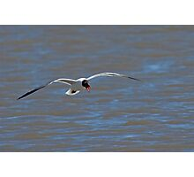 Laughing Gull in Flight Photographic Print