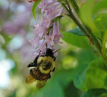 Carpenter Bee on Lilac by Alyson  Prokop