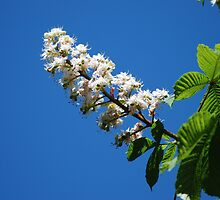 Aesculus hippocastanum image 2 by justbmac