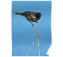 Red Winged Blackbird Perched Poster
