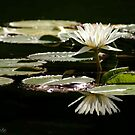 Water Lily by Kirstyshots