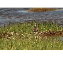 Willet at the Salt Pannes Photographic Print
